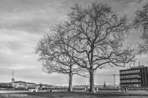 Leafless Winter Tree at Grosse Schanze - Berne in Black & White